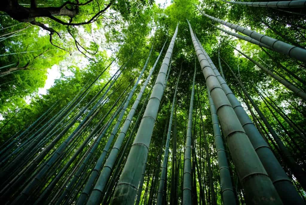 Benefits Of Drought Tolerant Bamboo